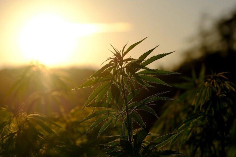 Jakie gatunki marihuany są najlepsze do hodowli
